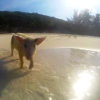 L'Ile d'Exuma aux Bahamas: plages de rêve, iguanes et baignade avec les cochons !