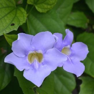 violetteclose