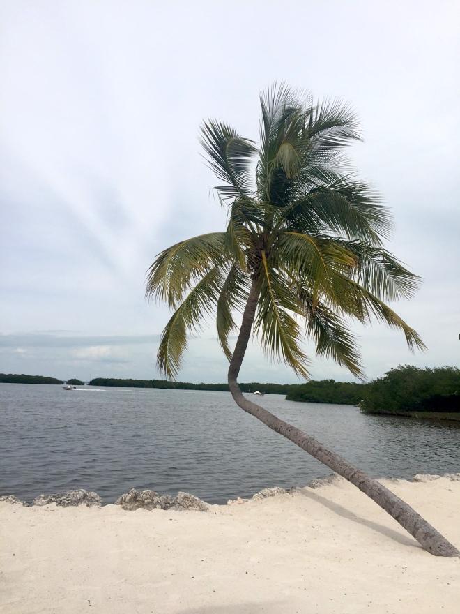 palmier isla